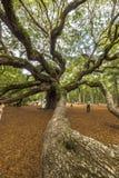 Virginiana do Quercus do carvalho do anjo Foto de Stock Royalty Free