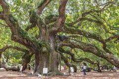 Virginiana do Quercus do carvalho do anjo Foto de Stock