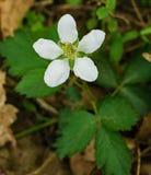 Virginiana Fragaria общего †Wildflowers клубники « Стоковые Фотографии RF