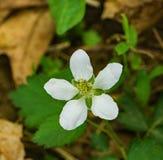 Virginiana Fragaria общего †Wildflowers клубники « Стоковое Изображение RF