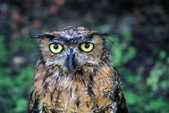 De natte grote gehoornde uil van het portret Stock Foto
