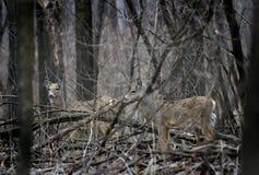 被伪装的鹿空齿鹿属对盯梢了virginianus白&#33394 免版税库存图片
