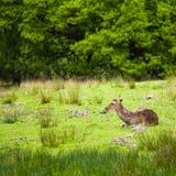 virginianus Blanc-coupé la queue d'odocoileus de cerfs communs image libre de droits