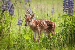 Virginianus Blanc-coupé la queue de Fawn Odocoileus de cerfs communs faisant face à gauche Image stock