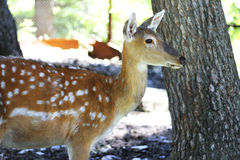 Virginianus Blanc-coupé la queue Fawn Stands d'Odocoileus de cerfs communs Photo stock