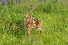 Virginianus Blanc-coupé la queue de Fawn Odocoileus de cerfs communs tourné à droite Photo stock