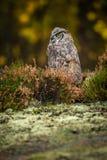 Virginianus do bubão que senta-se na terra fotos de stock royalty free