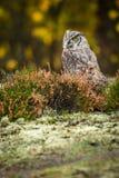 Virginianus do bubão que senta-se na terra fotografia de stock