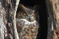 virginianus för horned owl för bubo stor Arkivbilder