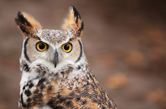virginianus för horned owl för bubo stor Fotografering för Bildbyråer
