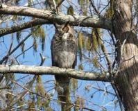 virginianus för horned owl för bubo stor Royaltyfria Bilder