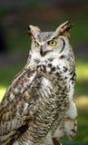 virginianus för horned owl för bubo stor Royaltyfri Foto