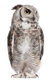 virginianus för subarcticus för horned owl för bubo stor Royaltyfri Fotografi