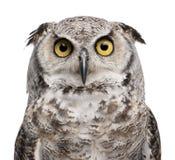 virginianus för subarcticus för horned owl för bubo stor Arkivfoton