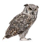 virginianus för subarcticus för horned owl för bubo stor Royaltyfria Bilder