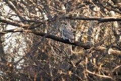 virginianus horned сыча bubo большое Стоковые Фотографии RF