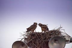 Virginianus van Bubo van de moeder grote gehoornde uil met een jonge uil in een nest royalty-vrije stock afbeeldingen