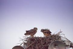 Virginianus van Bubo van de moeder grote gehoornde uil met een jonge uil in een nest stock foto's