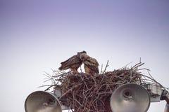 Virginianus van Bubo van de moeder grote gehoornde uil met een jonge uil in een nest royalty-vrije stock foto
