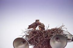 Virginianus van Bubo van de moeder grote gehoornde uil met een jonge uil in een nest royalty-vrije stock afbeelding