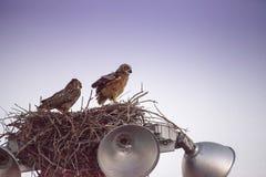 Virginianus van Bubo van de moeder grote gehoornde uil met een jonge uil in een nest royalty-vrije stock fotografie
