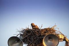 Virginianustopposities van Bubo van de baby grote gehoornde jonge uil in zijn nest royalty-vrije stock afbeelding
