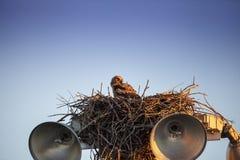 Virginianustopposities van Bubo van de baby grote gehoornde jonge uil in zijn nest stock afbeeldingen