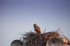 Virginianustopposities van Bubo van de baby grote gehoornde jonge uil in zijn nest royalty-vrije stock foto's