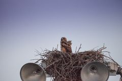 Virginianustopposities van Bubo van de baby grote gehoornde jonge uil in zijn nest royalty-vrije stock fotografie