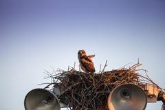 Virginianustopposities van Bubo van de baby grote gehoornde jonge uil in zijn nest stock afbeelding