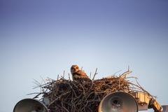 Virginianustopposities van Bubo van de baby grote gehoornde jonge uil in zijn nest royalty-vrije stock afbeeldingen