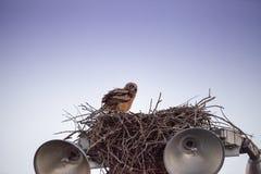 Virginianustopposities van Bubo van de baby grote gehoornde jonge uil in zijn nest royalty-vrije stock foto