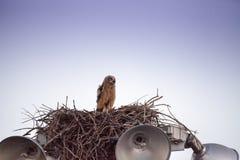 Virginianustopposities van Bubo van de baby grote gehoornde jonge uil in zijn nest stock foto's
