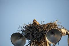Virginianustopposities van Bubo van de baby grote gehoornde jonge uil in zijn nest stock fotografie