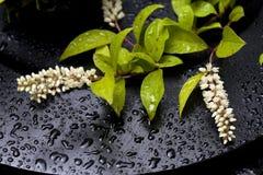 virginica itea Стоковое фото RF