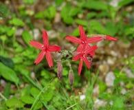 """Virginica van Wildflowers †""""Silene van de groepsbrand Roze stock foto"""