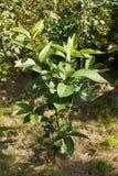 Virginicus del Chionanthus, albero di frangia bianco fotografia stock libera da diritti
