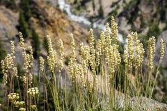 Virginiensis tôt de Saxifraga de saxifrage, parc national de Yellowstone images stock