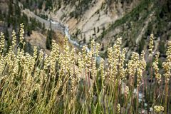 Virginiensis tôt de Saxifraga de saxifrage, parc national de Yellowstone photographie stock libre de droits