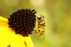virginiensis virginia milesia мухы цветка Стоковые Изображения