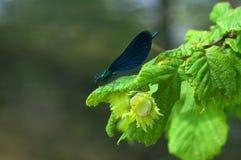 Virgo Calopteryx - λιβελλούλη Στοκ φωτογραφία με δικαίωμα ελεύθερης χρήσης
