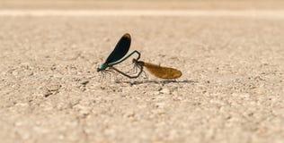 Virgo Calopteryx Красивая ответная часть demoiselle на дороге Крупный план женского и мужского dragonfly стоковые фотографии rf