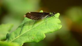 Virgo di Calopteryx ` Della ragazza del ` della libellula bello 8 archivi video