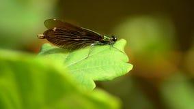 Virgo di Calopteryx ` Della ragazza del ` della libellula bello 9 archivi video