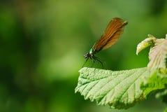 virgo för green för calopteryxsländakvinnlig Royaltyfri Foto