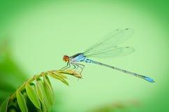 Virgo insekt odpoczywa na liściach akacja obraz stock
