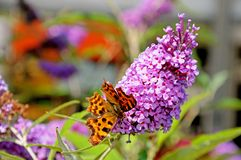Virgule butteryly sur la fleur de buddleja Photo stock