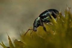 Viridicollisapp Phyllobius долгоносика Стоковые Фото