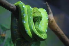 viridis вала питона chondropython зеленые Стоковые Изображения RF