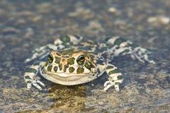 viridis жабы bufo зеленые Стоковое Изображение RF